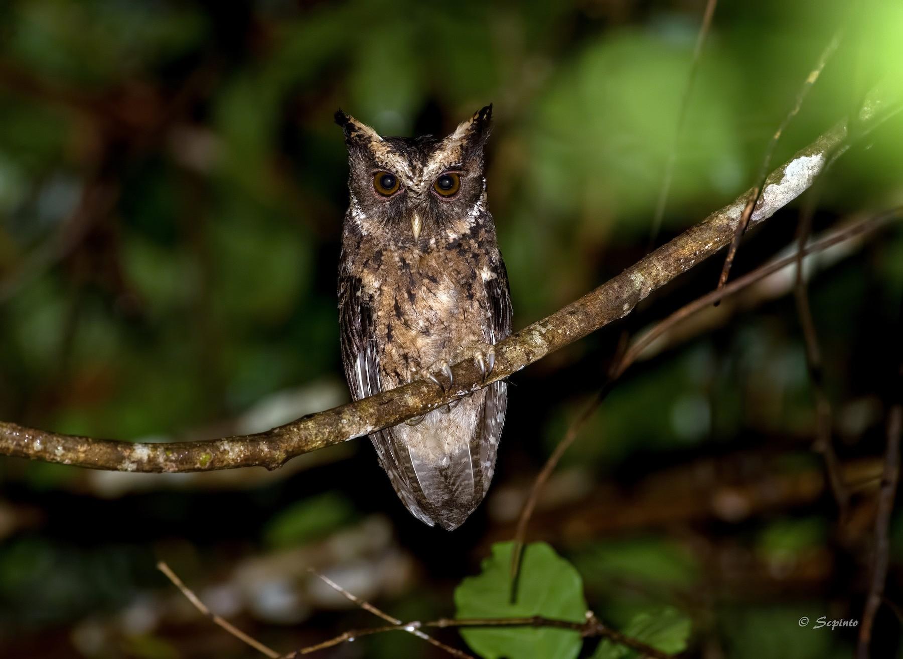 Palawan Scops-Owl - Shailesh Pinto
