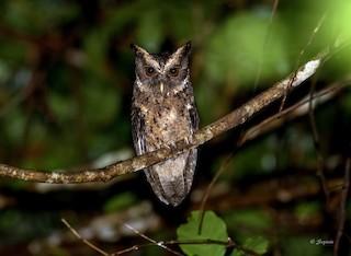 - Palawan Scops-Owl