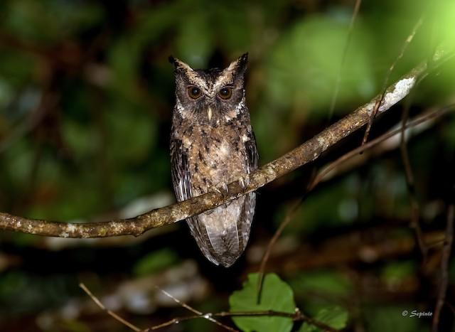 Palawan Scops-Owl