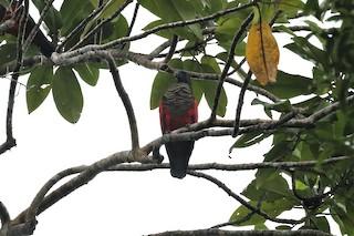 - Pesquet's Parrot