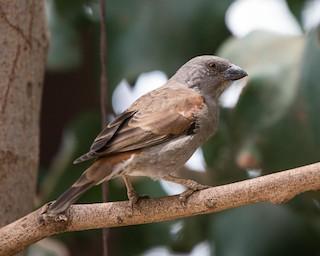 - Parrot-billed Sparrow