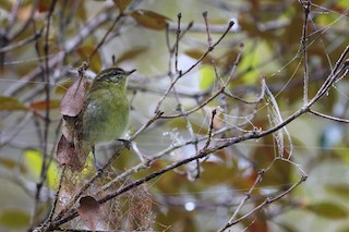 - Sulawesi Leaf Warbler
