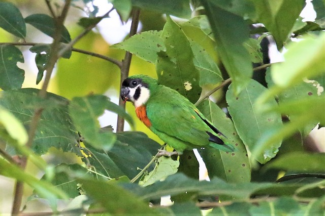 Orange-breasted Fig-Parrot