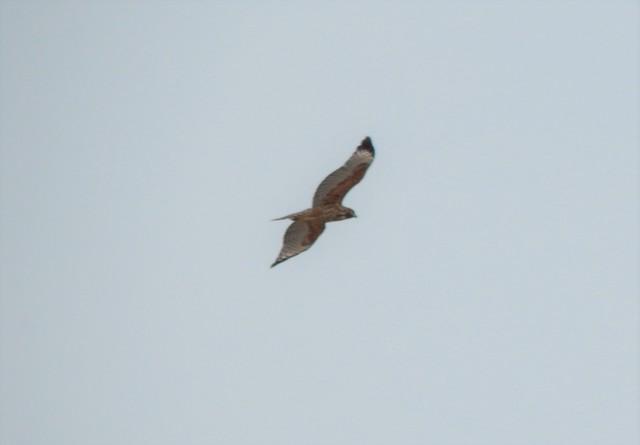 Red-shouldered Hawk (elegans)
