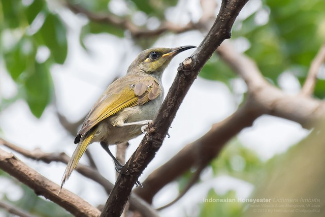 Indonesian Honeyeater
