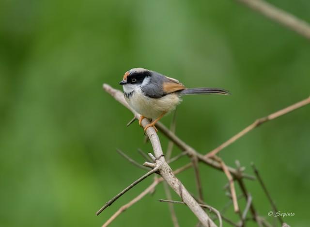 Juvenile, presumably subspecies <em>concinnus.</em>