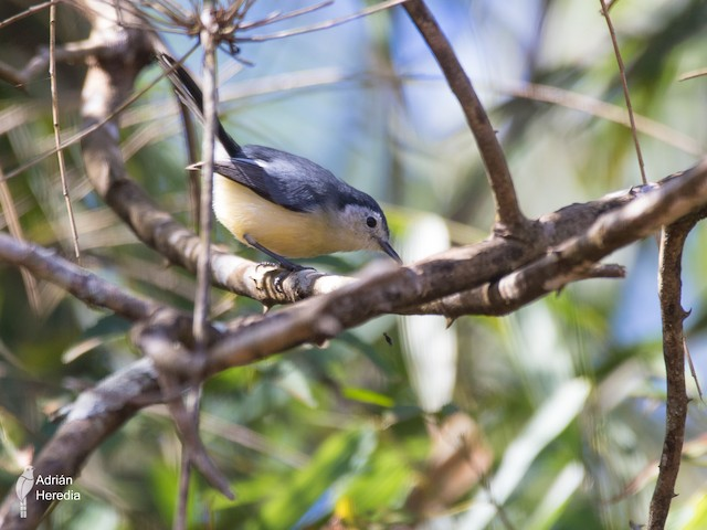 Creamy-bellied Gnatcatcher