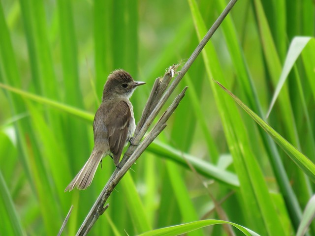 White-throated Flycatcher: worn individual.