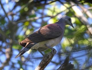 Madagascar Turtle-Dove