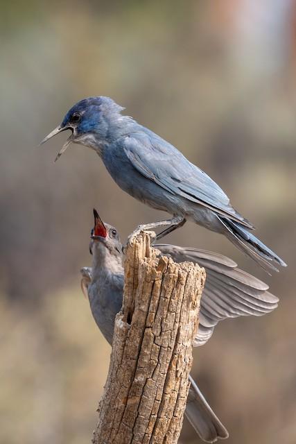 Adult Pinyon Jay with begging juvenile.