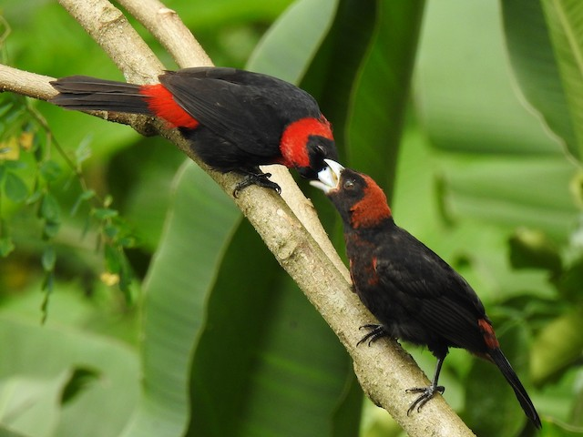 Adult Crimson-collared Tanager feeding juvenile.