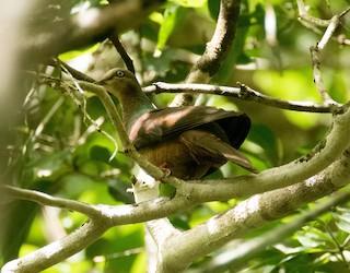 - Black-billed Cuckoo-Dove