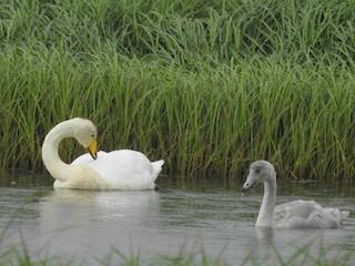 Whooper Swan, ML109941731