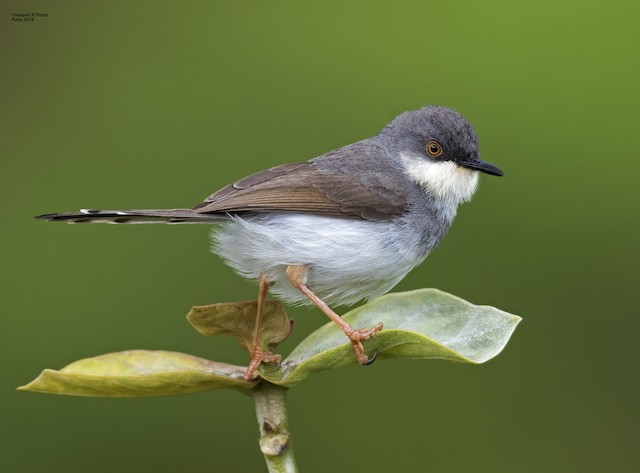 ©Swapnil Thatte - Gray-breasted Prinia