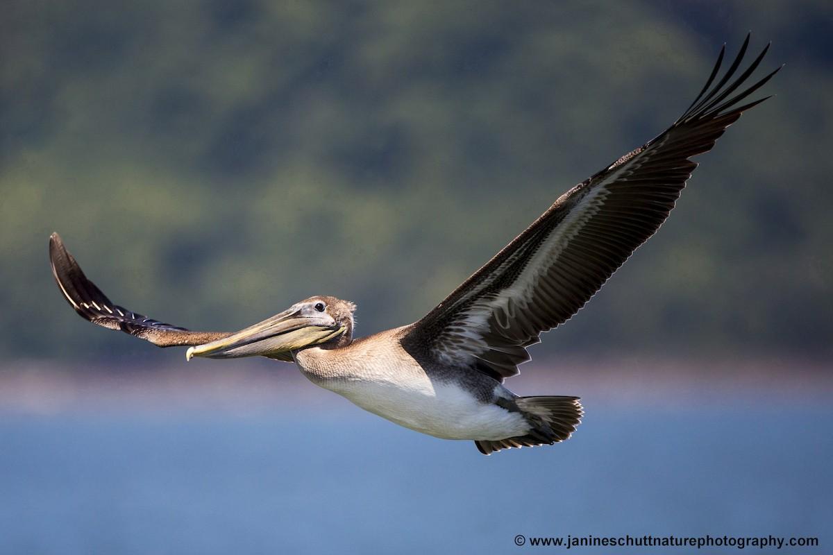 Brown Pelican ML110114541
