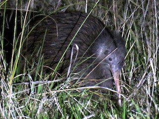 - North Island Brown Kiwi