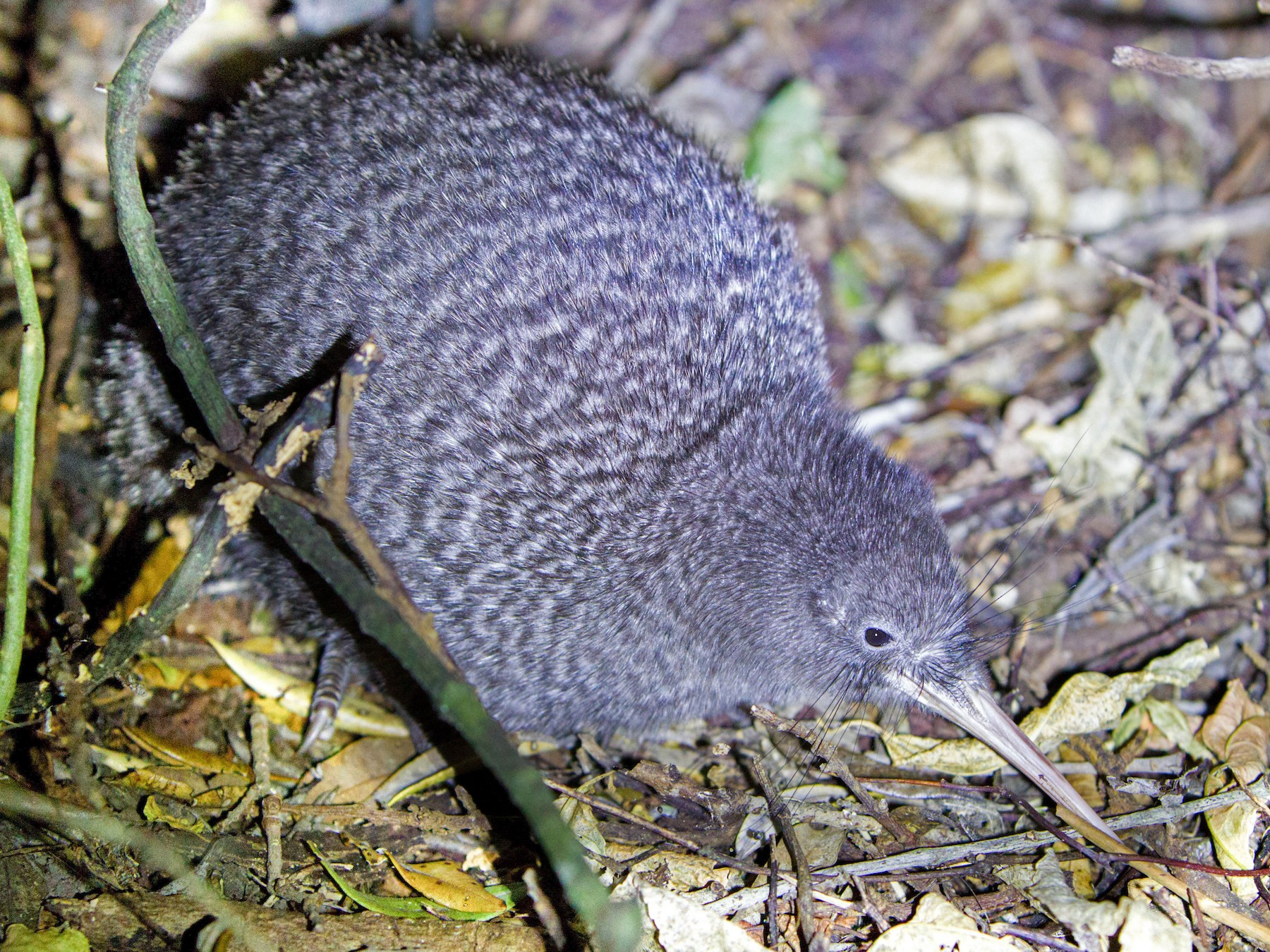 Little Spotted Kiwi - Laurie Ross | Tracks Birding & Photography Tours