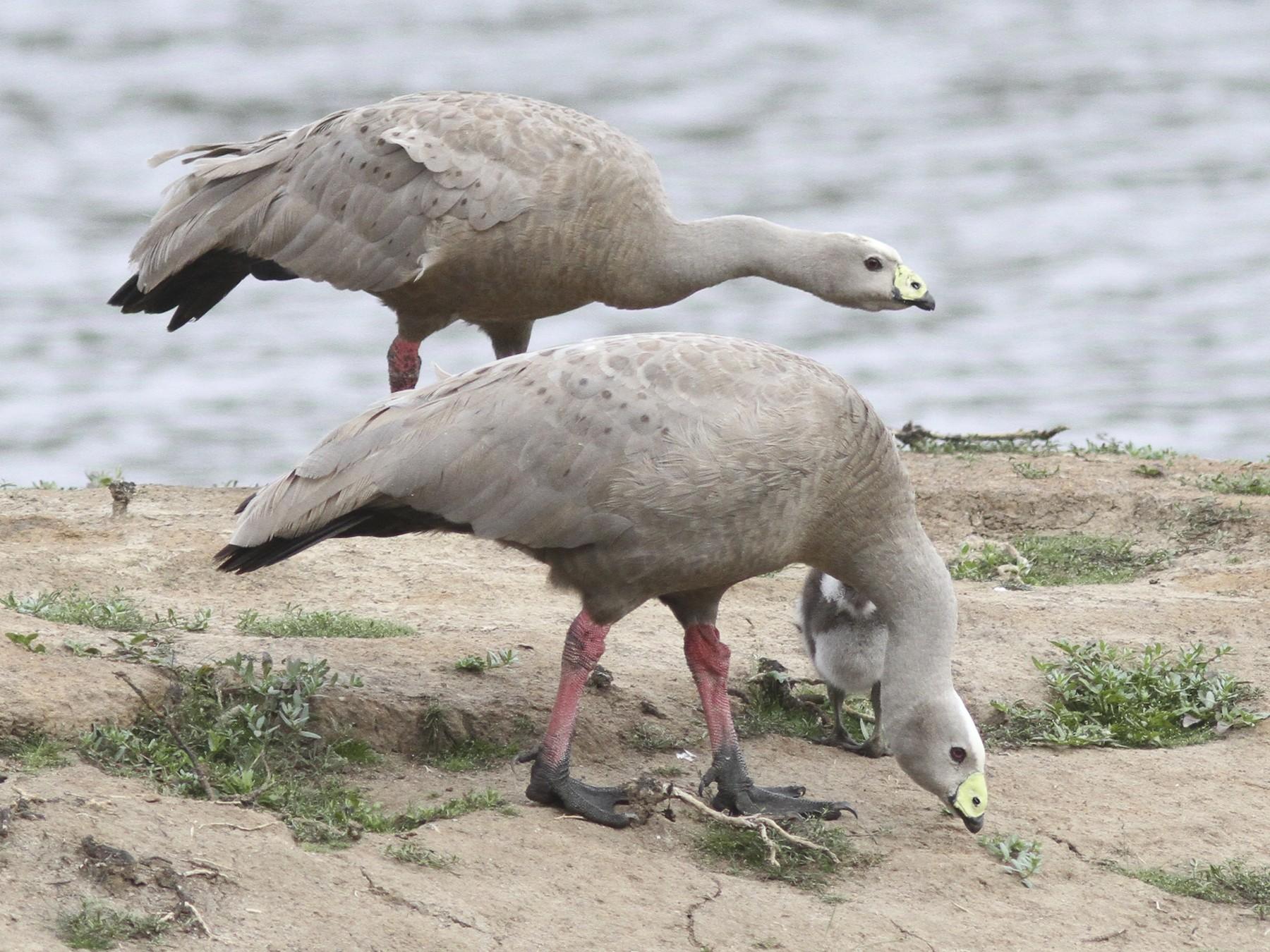 Cape Barren Goose - Steve Kelling