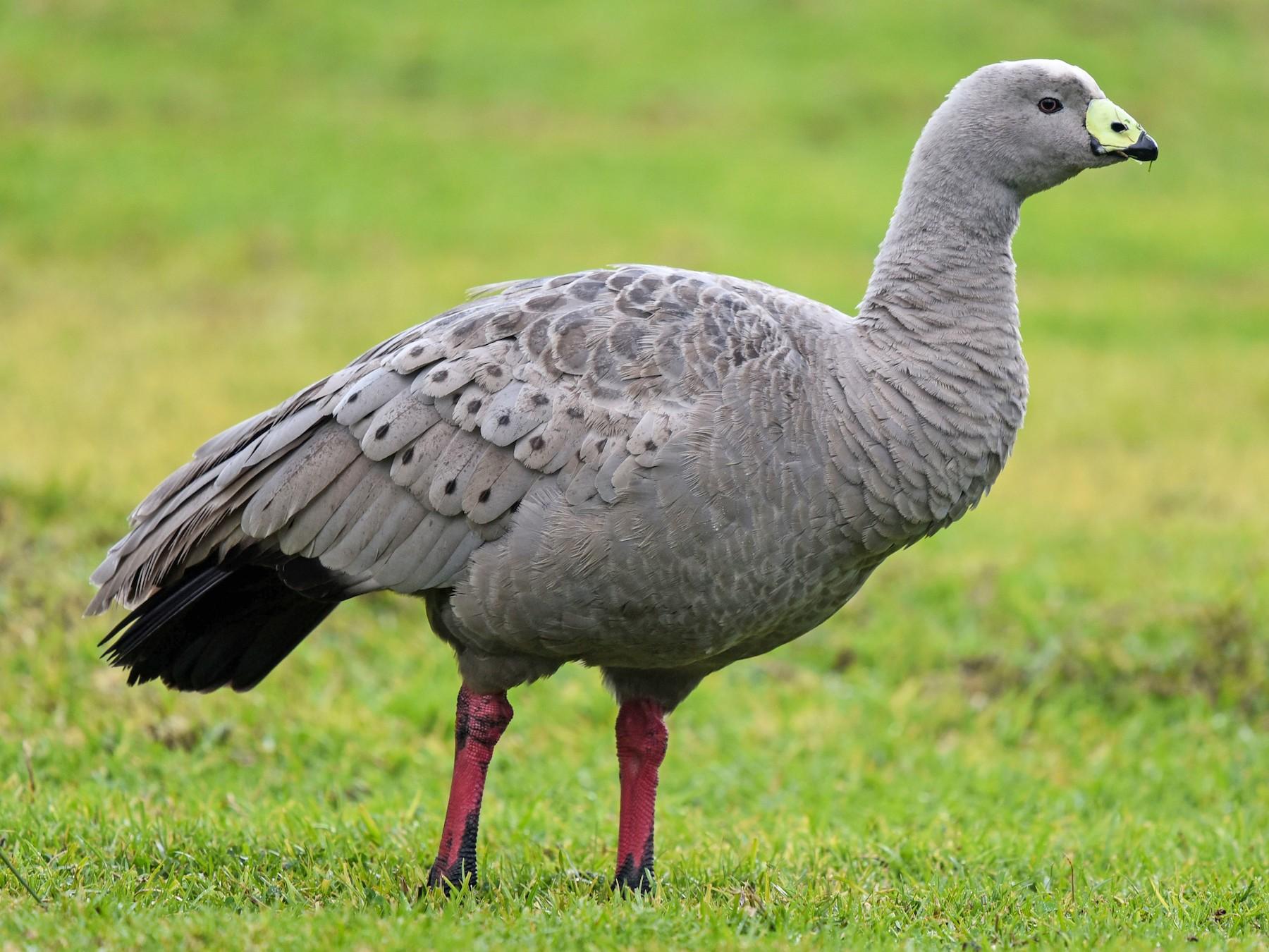 Cape Barren Goose - Bruce Wedderburn
