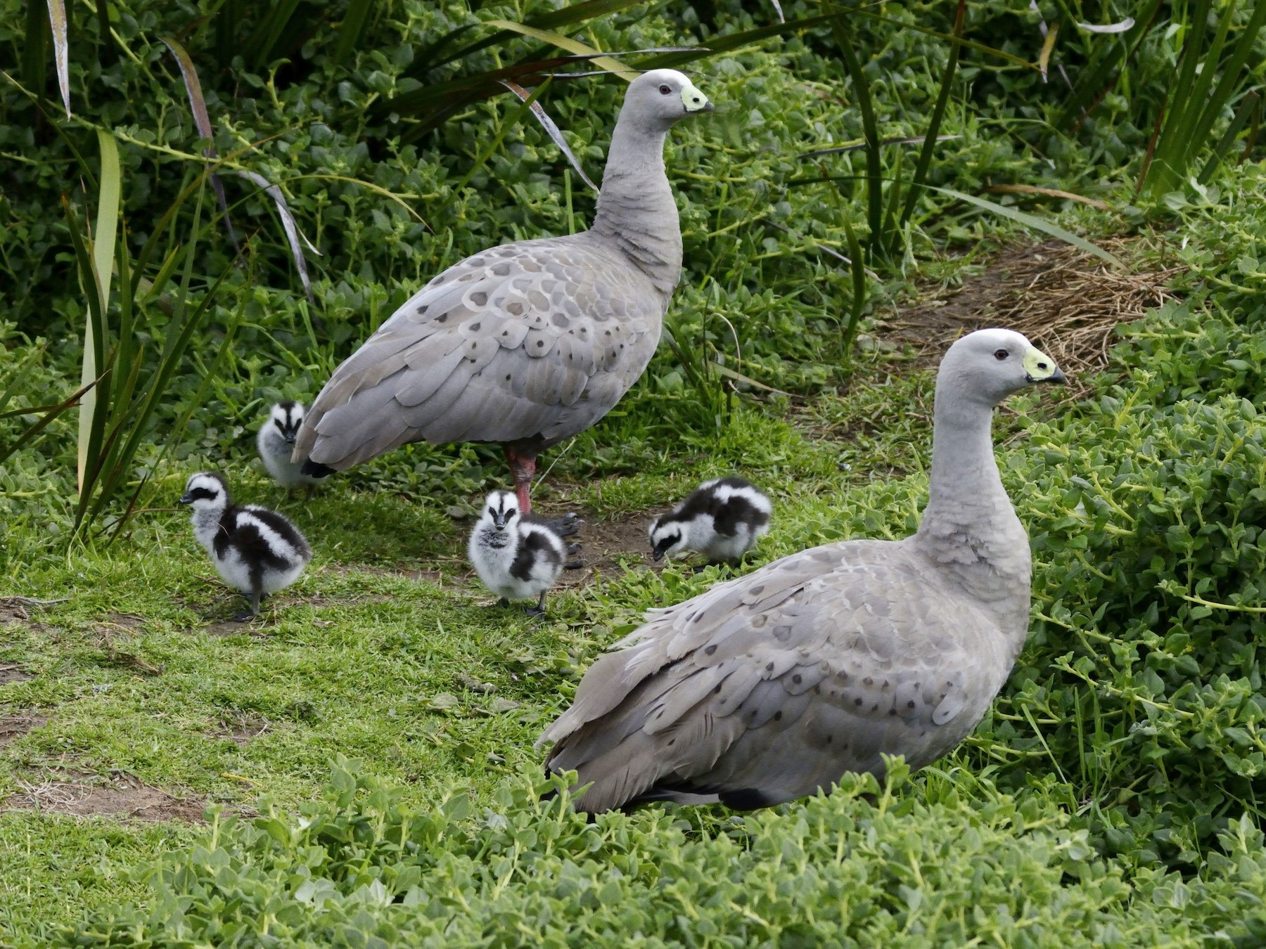 Cape Barren Goose - Susan Kruss