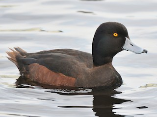 - New Zealand Scaup
