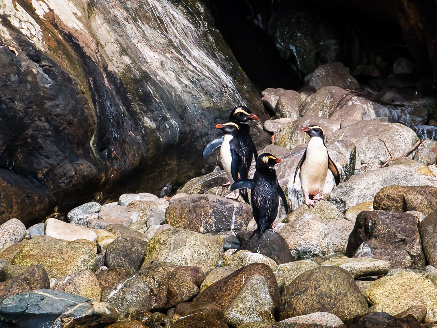 Fiordland Penguin - graichen & recer