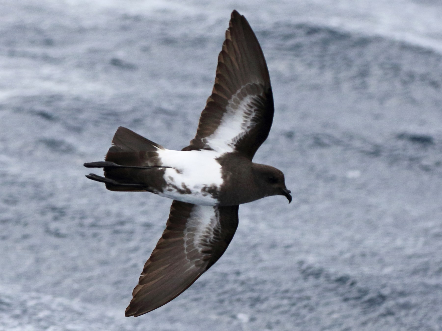 Black-bellied Storm-Petrel - Richard Fuller
