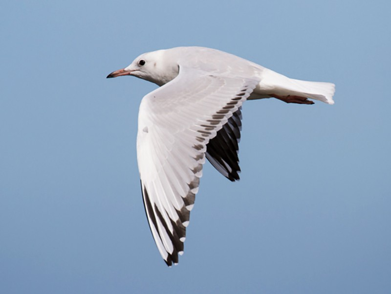 Black-billed Gull - Ric Else