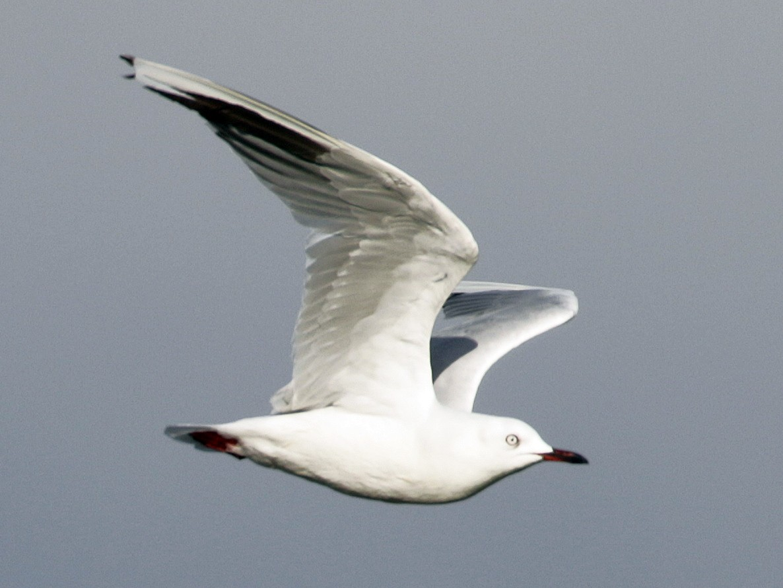 Black-billed Gull - Cameron Eckert