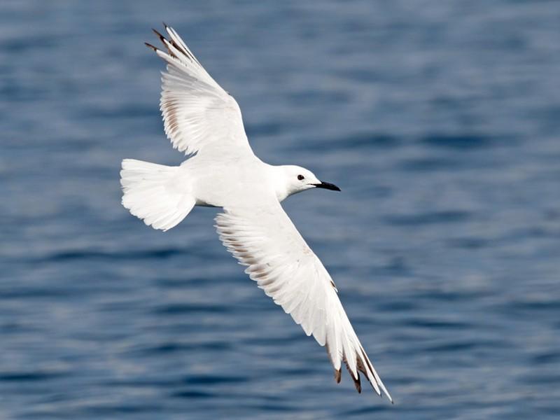 Black-billed Gull - David Irving
