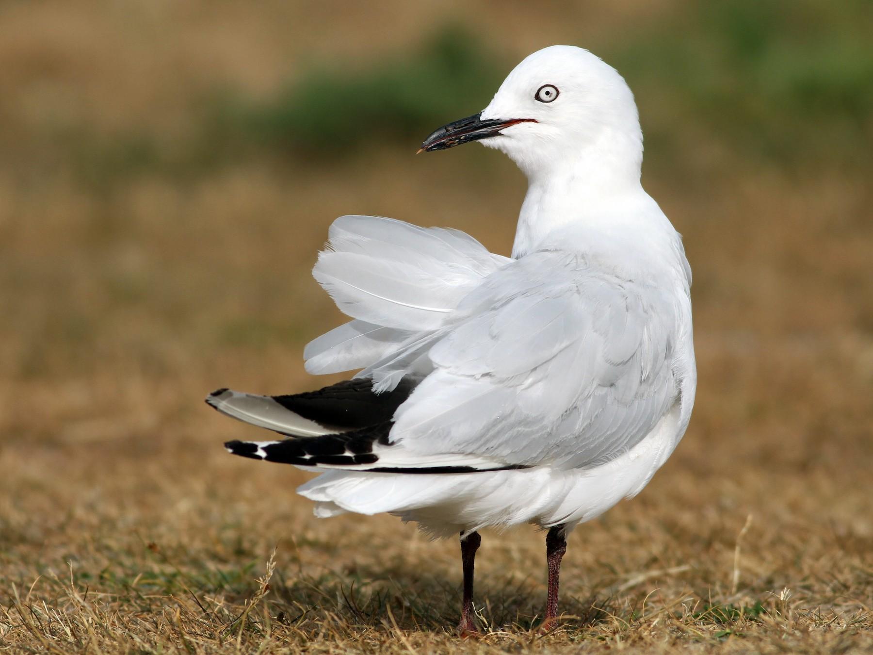 Black-billed Gull - Evan Lipton