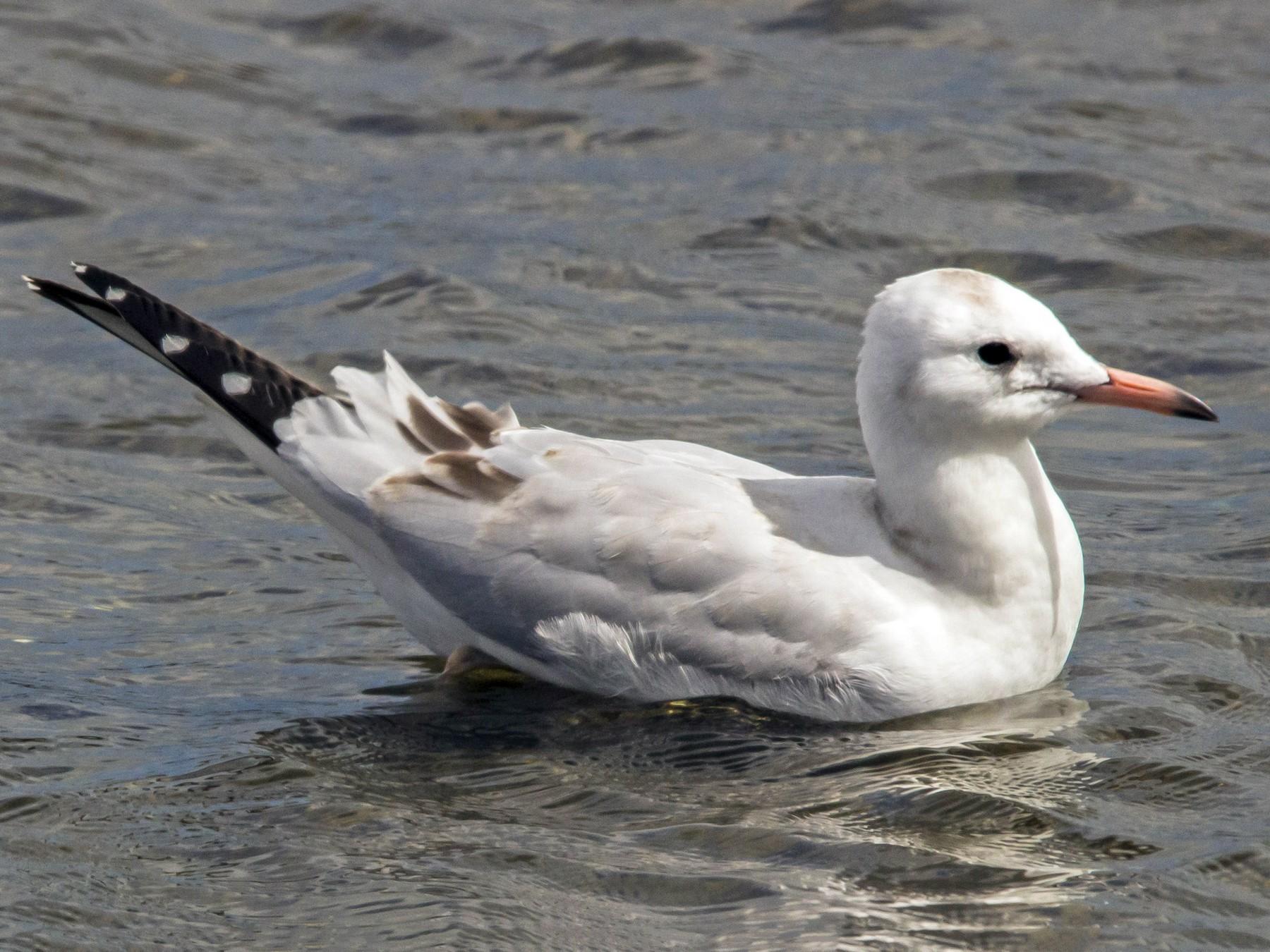 Black-billed Gull - Oscar Thomas