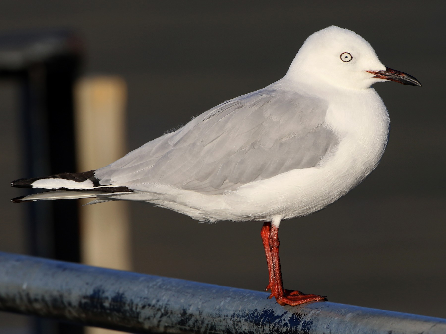 Black-billed Gull - Julie Sarna