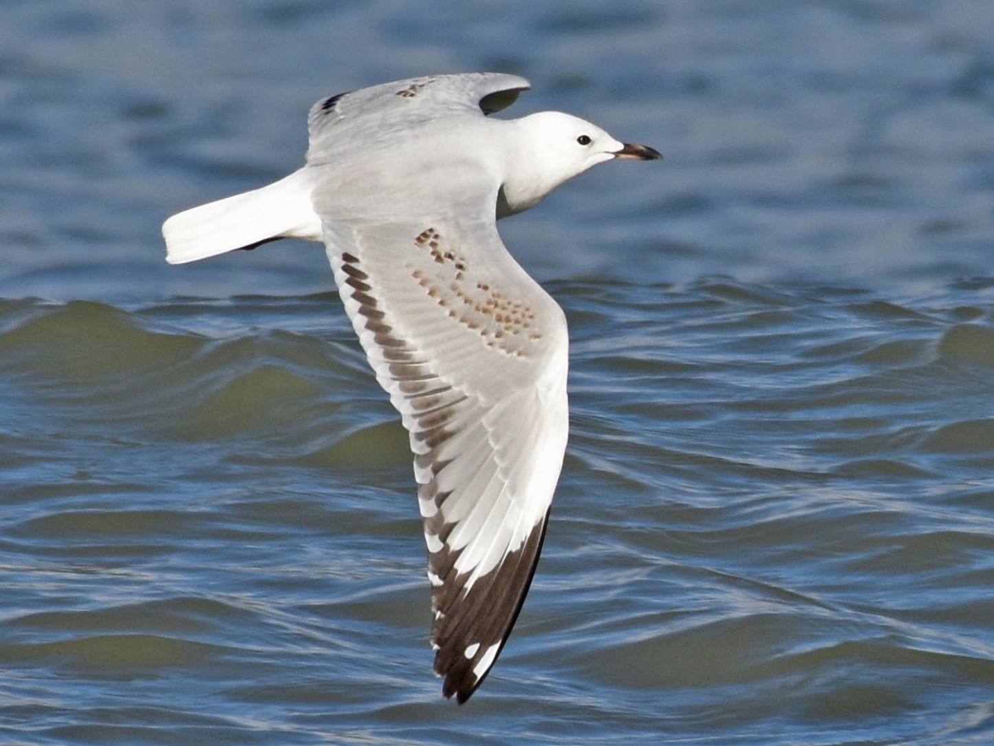 Silver Gull (Red-billed) - George Gibbs