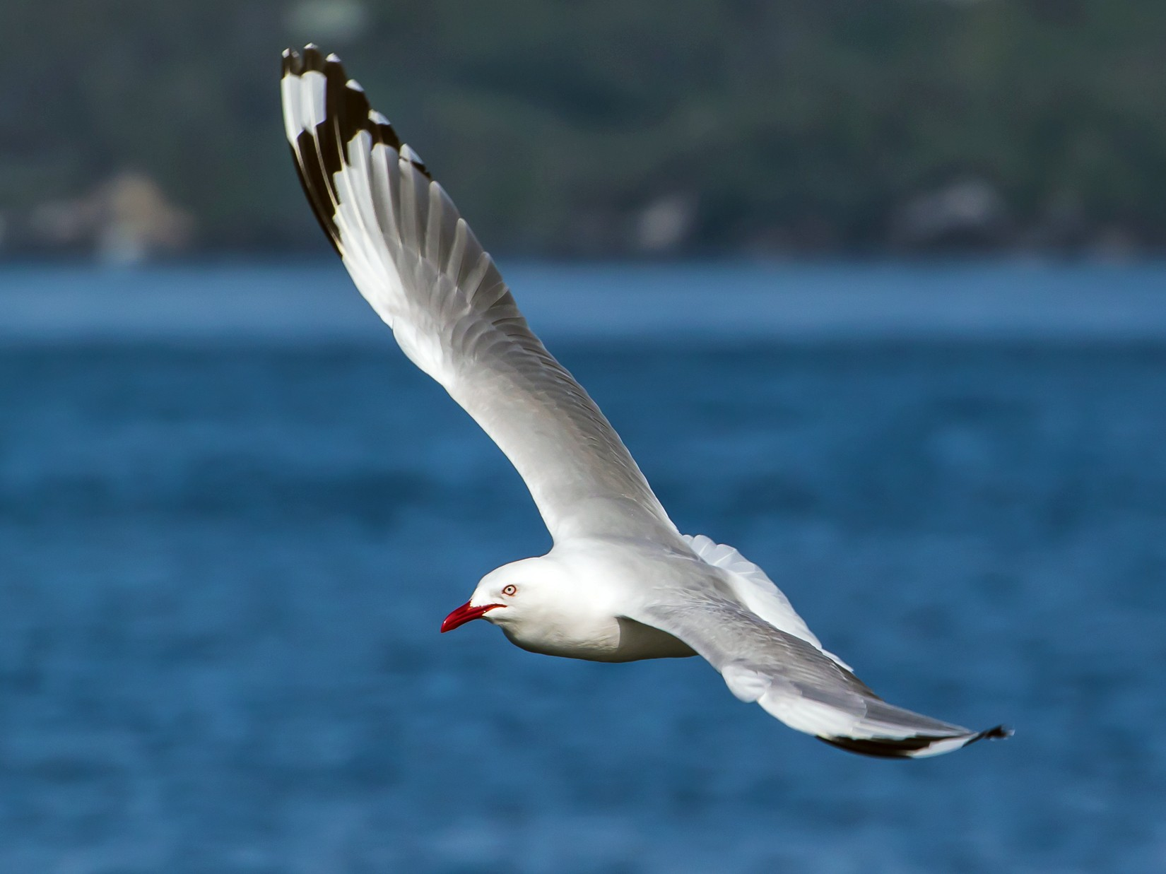 Silver Gull (Red-billed) - graichen & recer