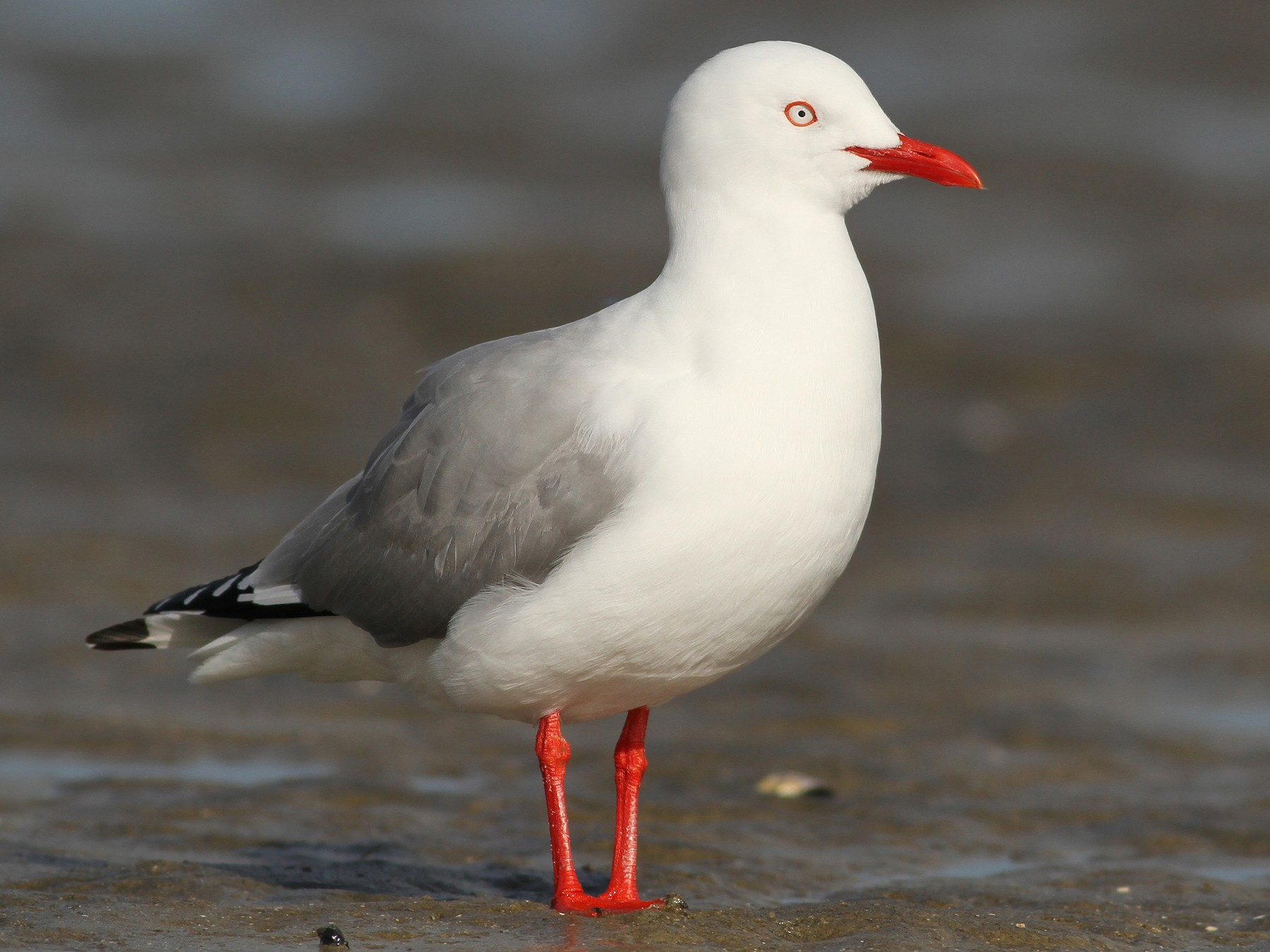 Silver Gull (Red-billed) - Evan Lipton