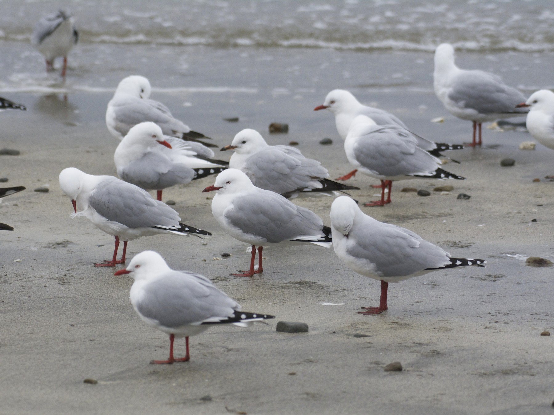 Silver Gull (Red-billed) - Ben Davis