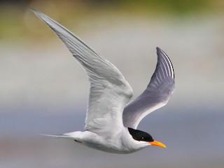 - Black-fronted Tern