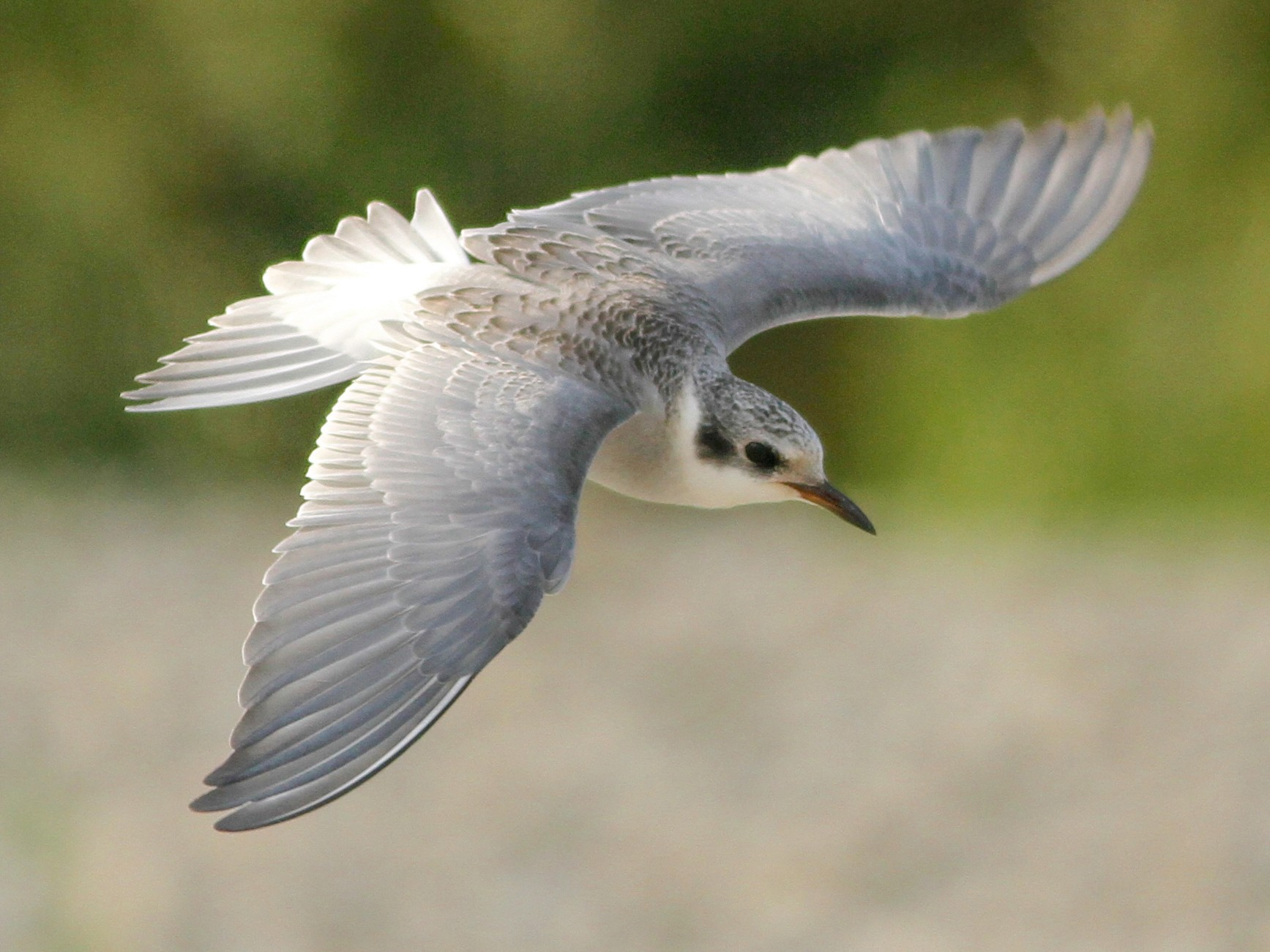Black-fronted Tern - Evan Lipton