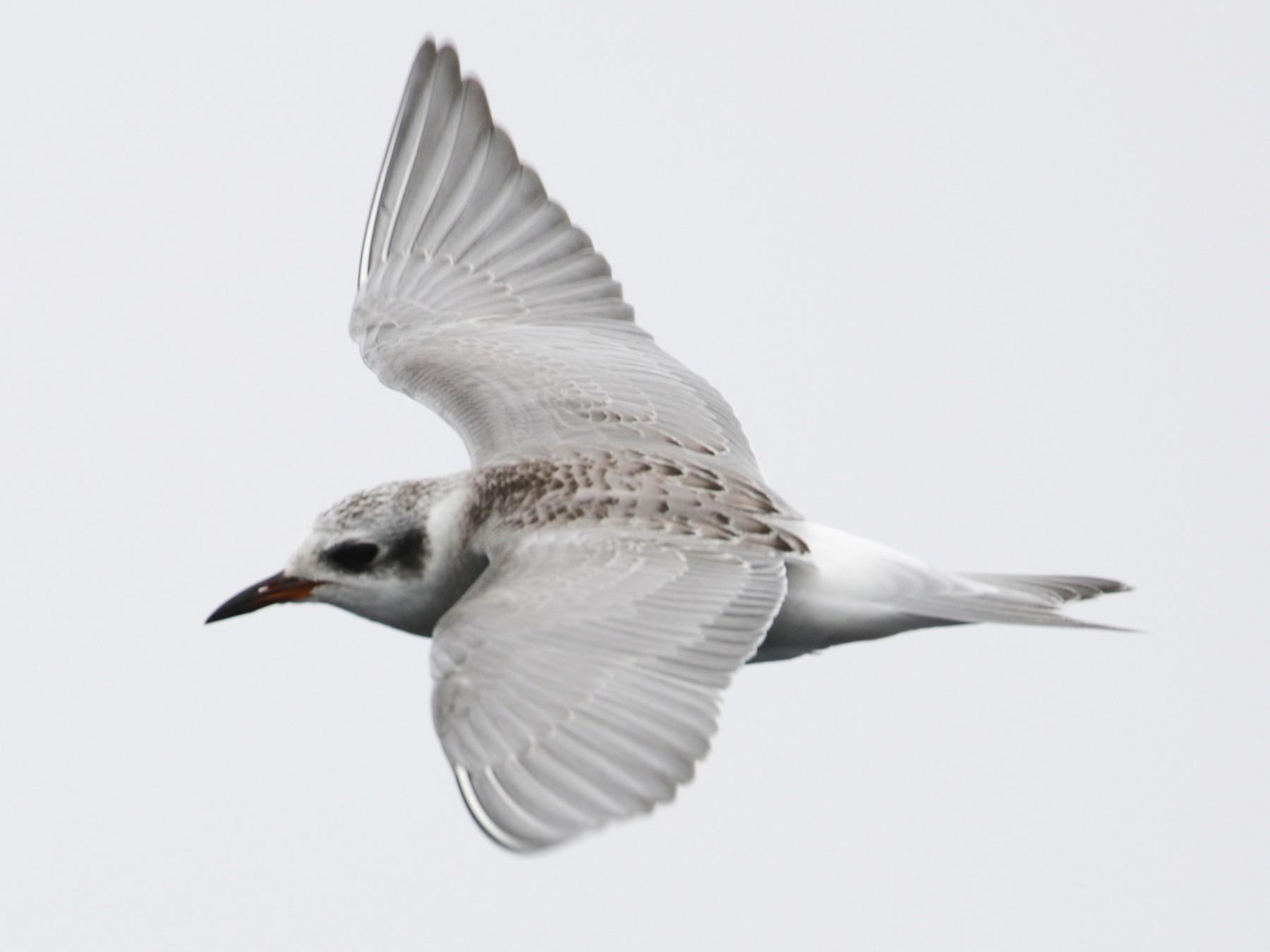 Black-fronted Tern - Cameron Eckert