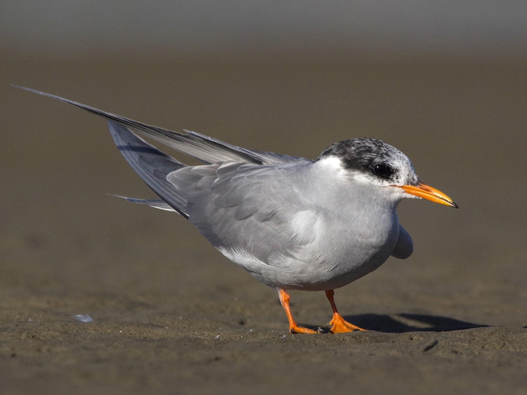 Black-fronted Tern - Oscar Thomas