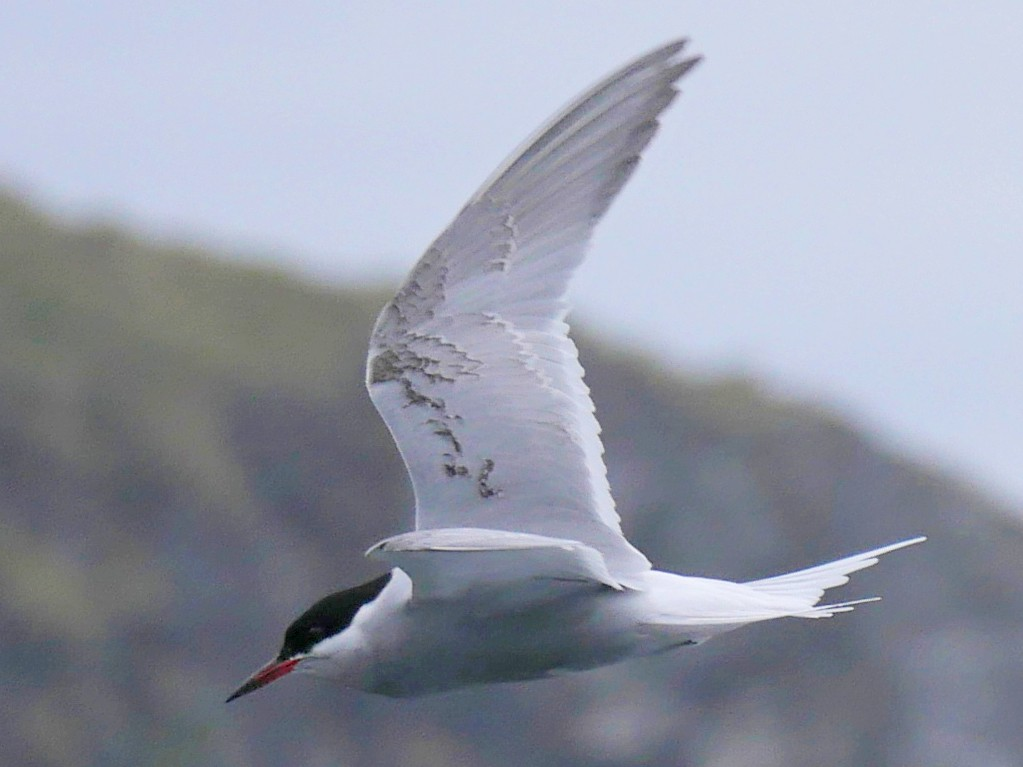 Antarctic Tern - Peter Lowe