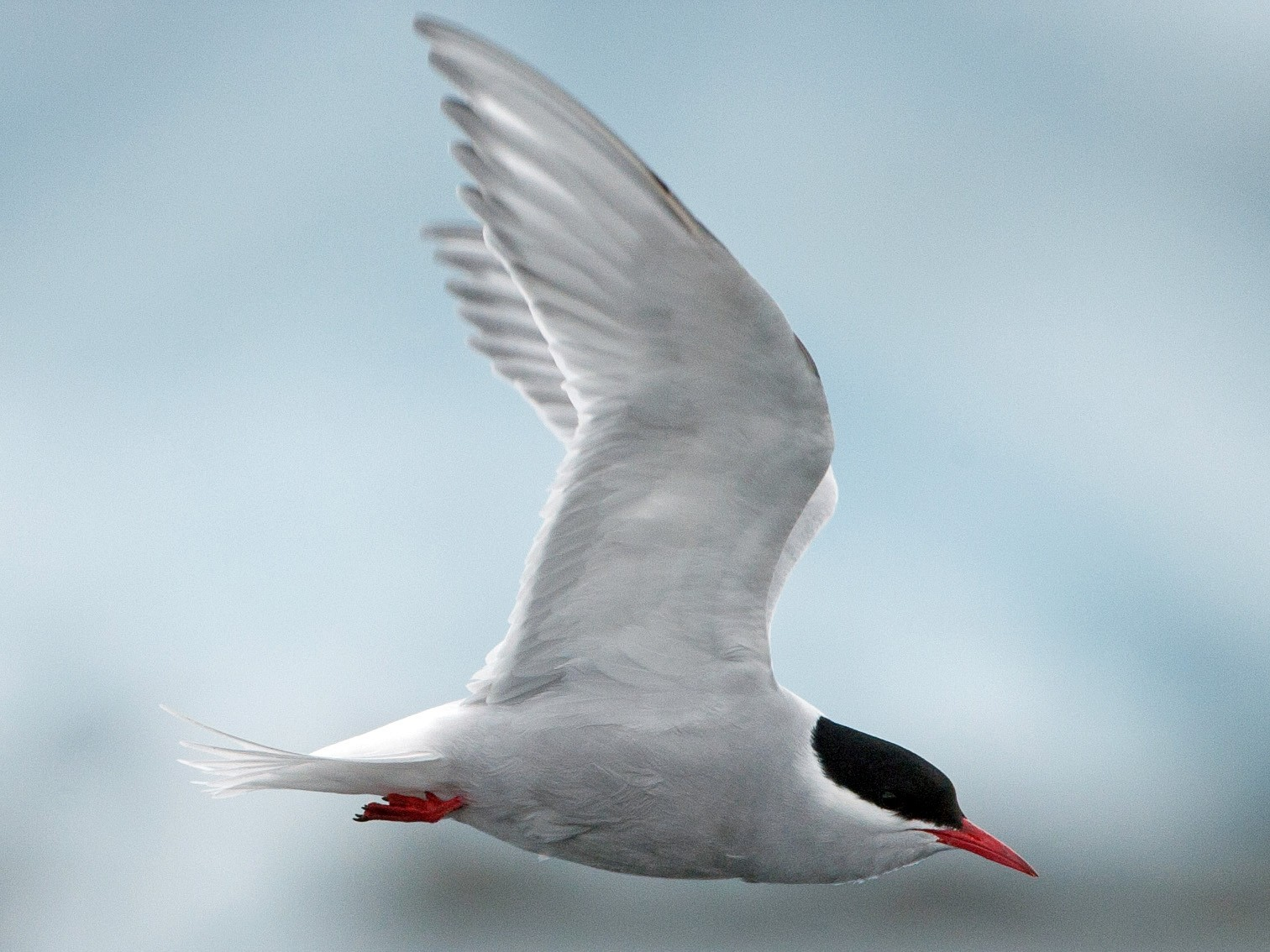 Antarctic Tern - Chris Wood
