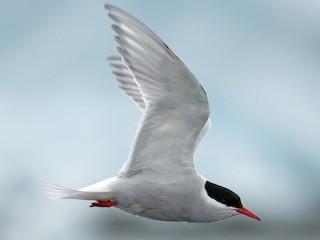- Antarctic Tern (Antarctic)