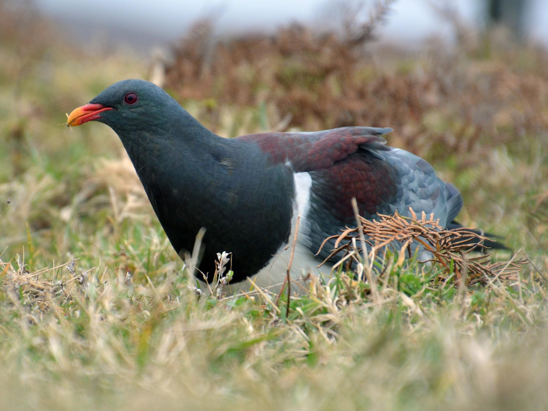 Chatham Island Pigeon - Oscar Thomas