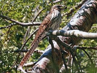 - Long-tailed Koel