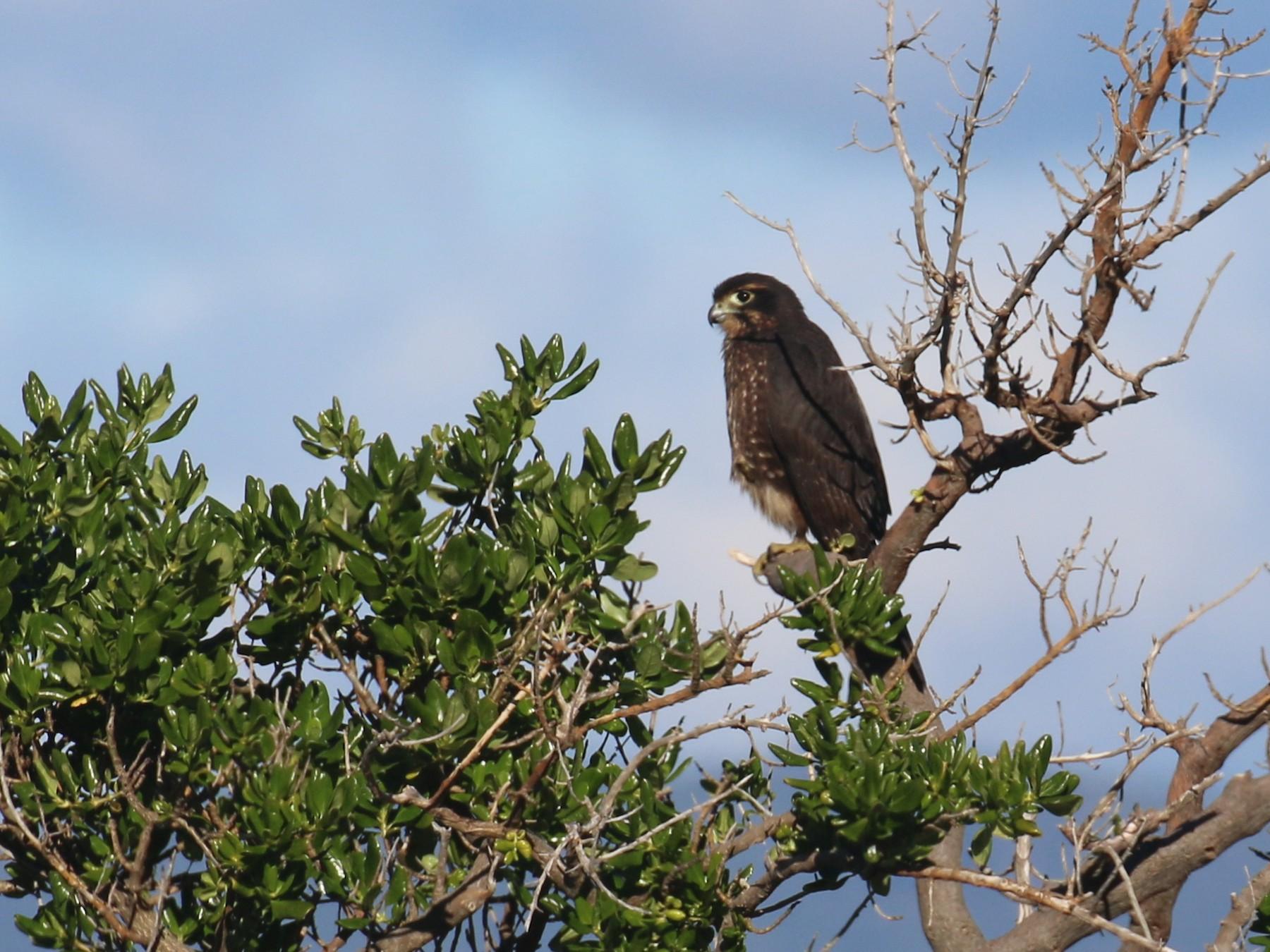 New Zealand Falcon - Geoff de Lisle