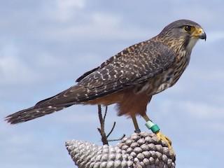- New Zealand Falcon