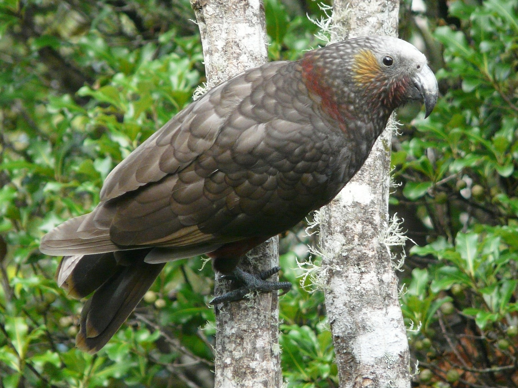 New Zealand Kaka - Cara Barnhill