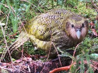 - Kakapo